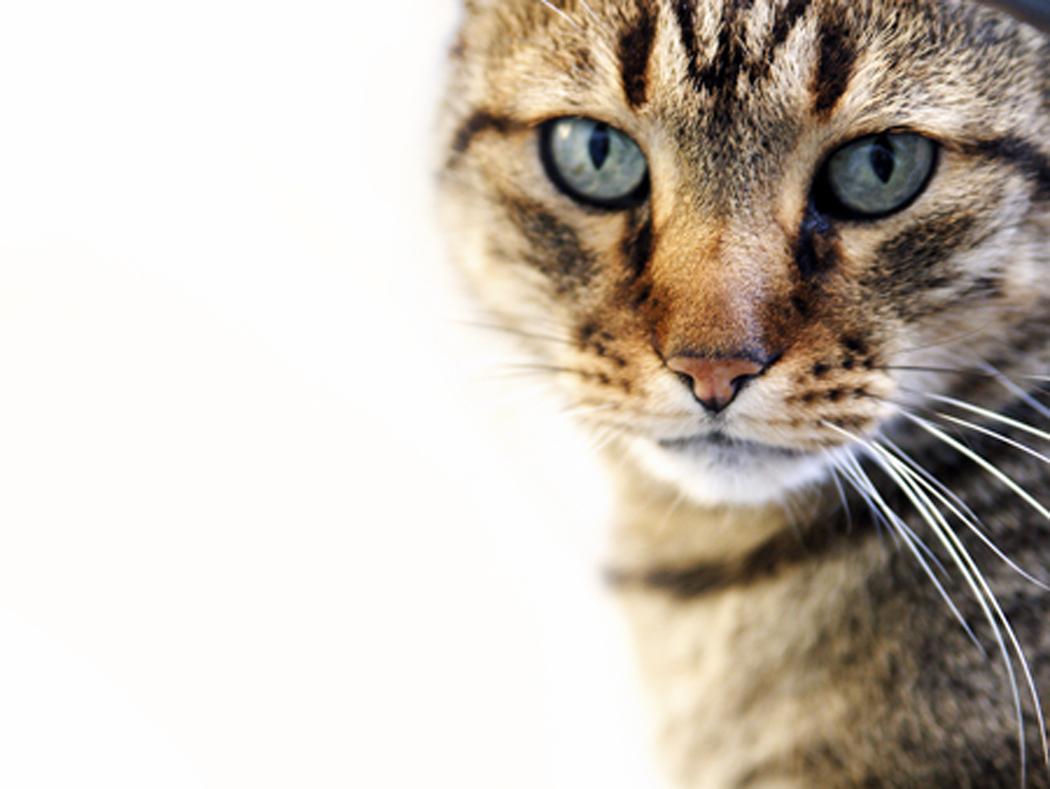 t/d oral health cat food
